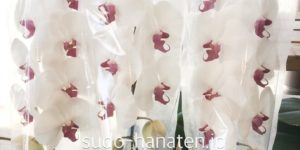 胡蝶蘭で、ロキシーハートです 芯の部分が赤いタイプで、紅白のお花なので、お祝いの御用途でお使いになられることが多いです