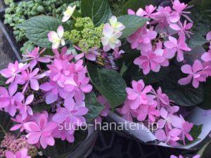 ピンクの額紫陽花(ガクアジサイ)