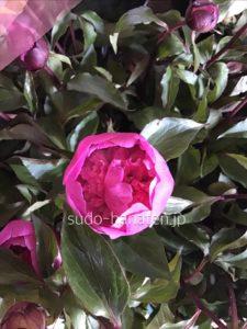 芍薬でサツキです ちょっと小さめの芍薬ですが、濃いピンク色の丸い花は和の花でありながら、洋の雰囲気も漂う花です