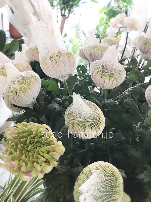 洋菊でロサーノシャルロッテです アナスタシアの一種で、白とグリーンのグラデーションが綺麗な菊です