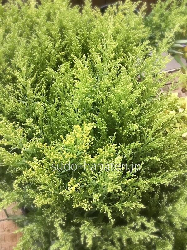 ソリダコ、タラです 細かい黄色い花で、今回は学校の華道部の部活用に仕入れました 今回は菖蒲と、ソリダコと、枝物でのお稽古になります