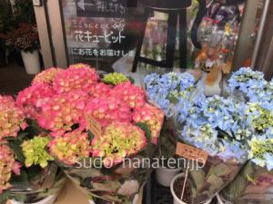 紫陽花で、夏海と、ピーチ姫です 夏海は、名前の通り夏の海を思わせるような、青い紫陽花です ピーチ姫も可愛いピンク色で、人気の品種です