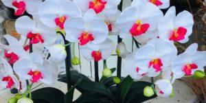 【造花】ミディ胡蝶蘭 3本立ち (※光触媒の加工済)
