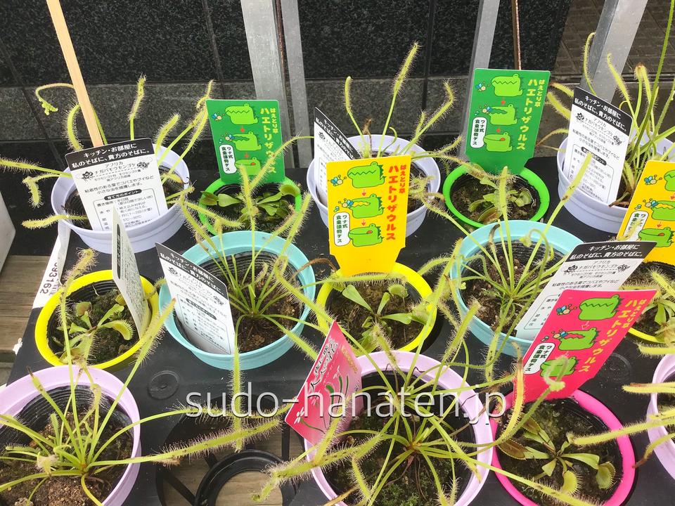 食虫植物です ハエトリ草と、モウセンゴケです