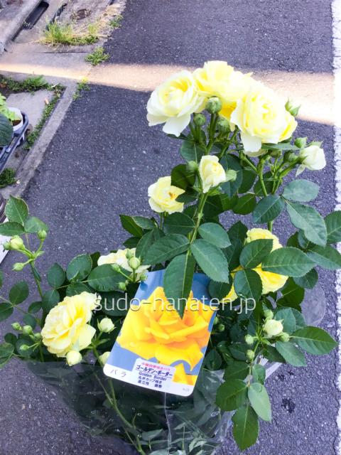薄い黄色のゴールデンボーダーは四季咲き品種