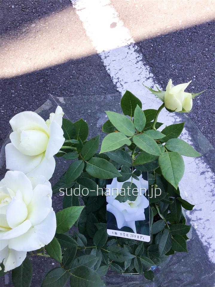 白はJFケネディで、四季咲きで、凛とした佇まい
