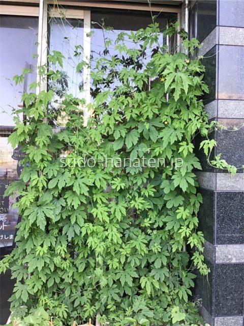 店の入り口のゴーヤが見事な緑のカーテンに