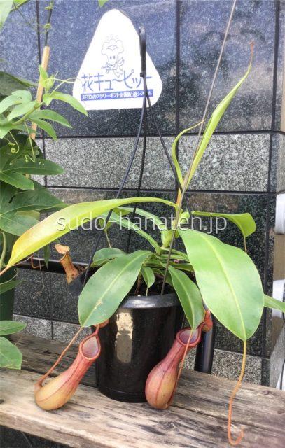 ウツボカズラ(食虫植物)