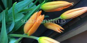 ユリ咲のチューリップ