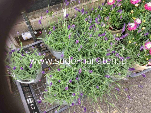 宿根草のラベンダー