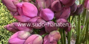 お盆らしい花の蓮花