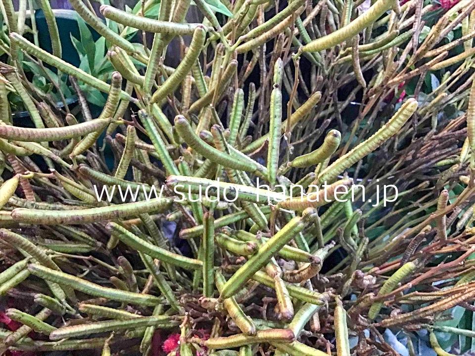 生け花花材用のハブ草